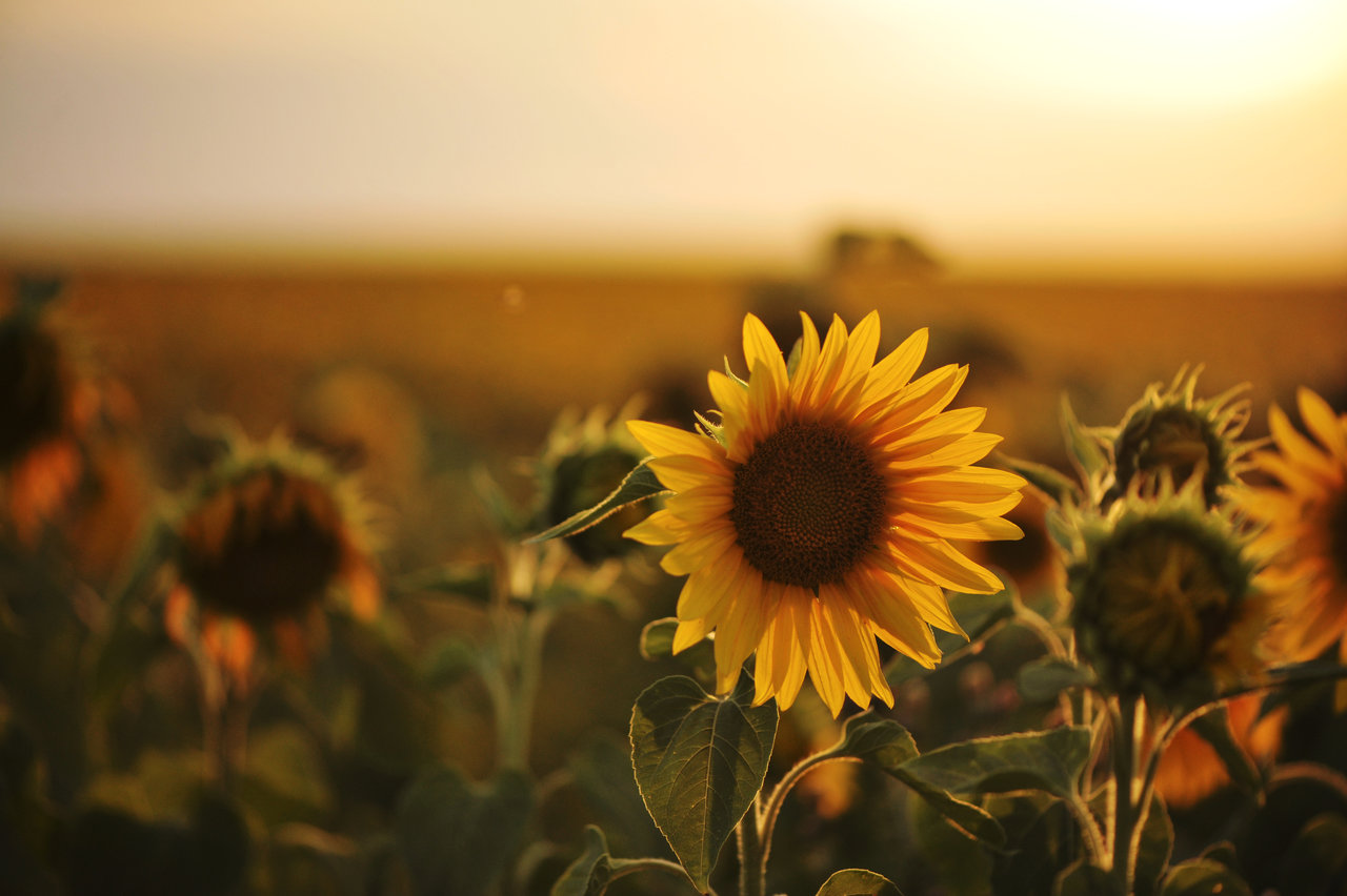 sunflower_and_sunset_by_pohlmannmark-d6gsr2e